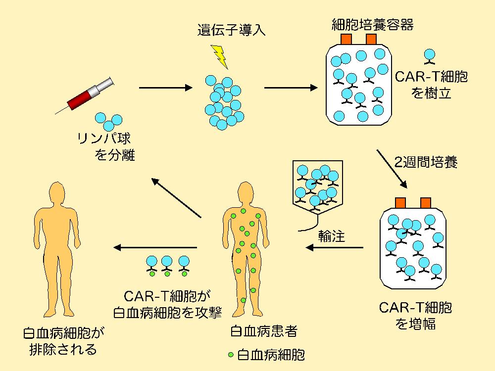 白血病 治療: 化学療法抵抗性または造血細胞移植後再発のCD19陽性急性リンパ